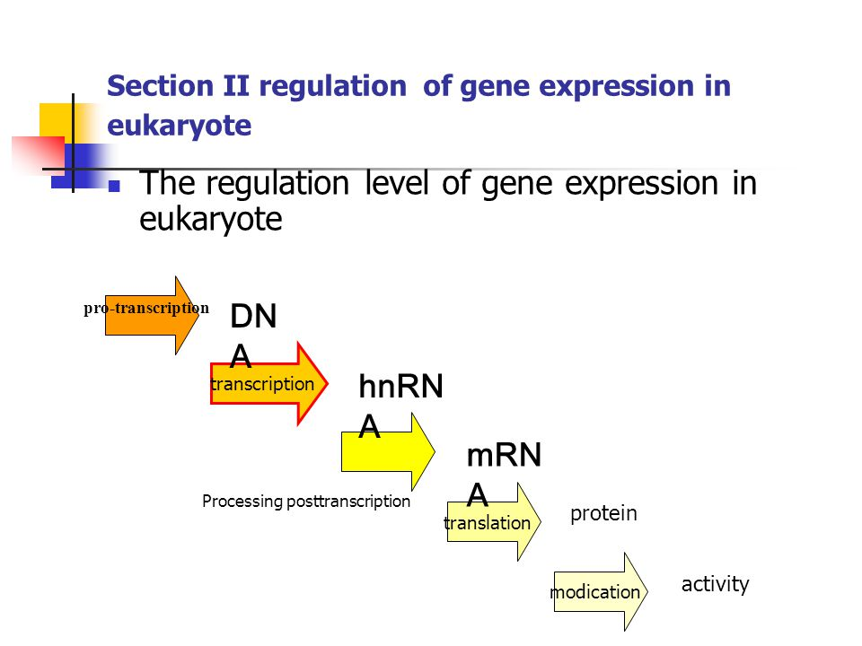 Section II regulation of gene expression in eukaryote The regulation level of gene expression in eukaryote pro-transcription transcription translation