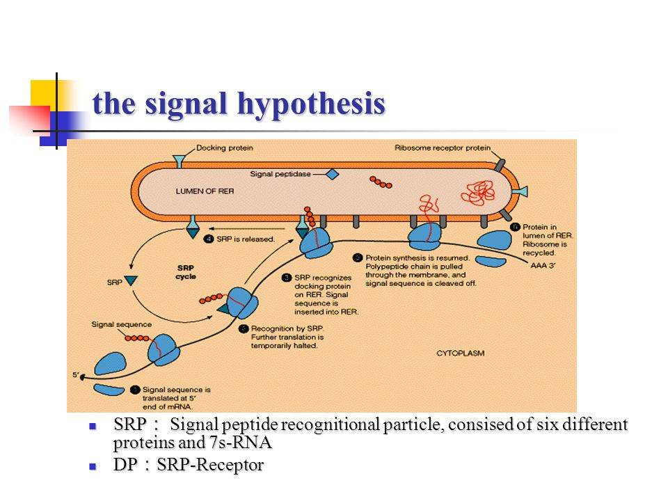 the signal hypothesis SRP : Signal peptide recognitional particle, consised of six different proteins and 7s-RNA SRP : Signal peptide recognitional pa