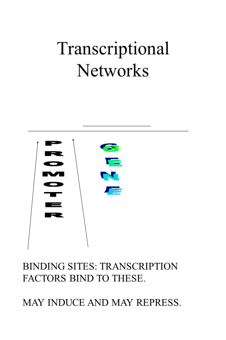 Transcriptional Networks BINDING SITES: TRANSCRIPTION FACTORS BIND TO THESE.