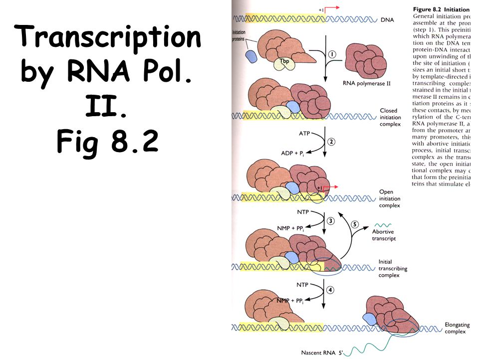 Transcription by RNA Pol. II. Fig 8.2