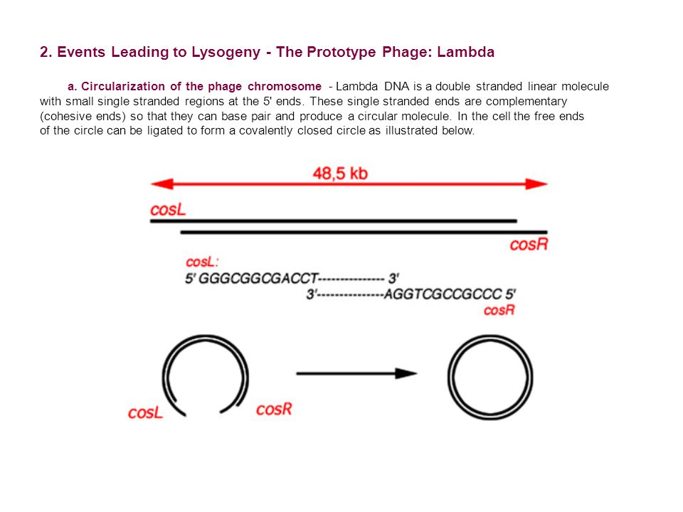 2. Events Leading to Lysogeny - The Prototype Phage: Lambda a.