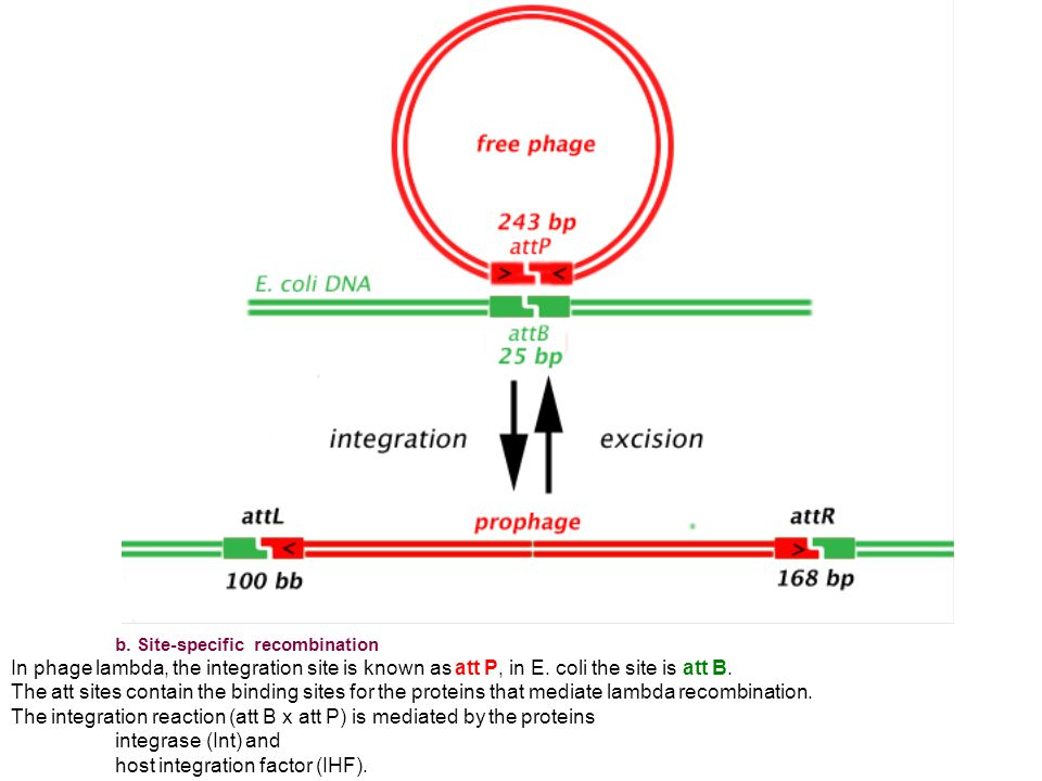 b. Site-specific recombination In phage lambda, the integration site is known as att P, in E.
