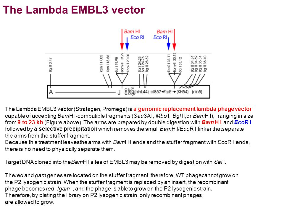 The Lambda EMBL3 vector (Stratagen, Promega) is a genomic replacement lambda phage vector capable of accepting BamH I-compatible fragments (Sau3A I, Mbo I, Bgl II,or BamH I), ranging in size from 9 to 23 kb (Figure above).