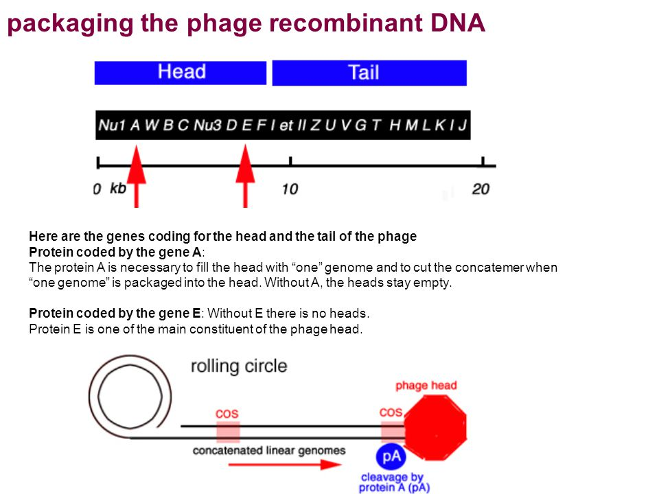 packaging the phage recombinant DNA Here are the genes coding for the head and the tail of the phage Protein coded by the gene A: The protein A is nec