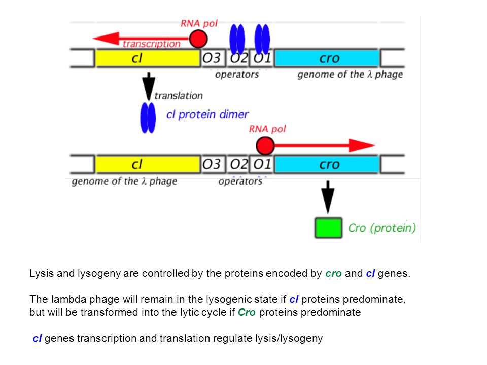 Lysis and lysogeny are controlled by the proteins encoded by cro and cI genes. The lambda phage will remain in the lysogenic state if cI proteins pred