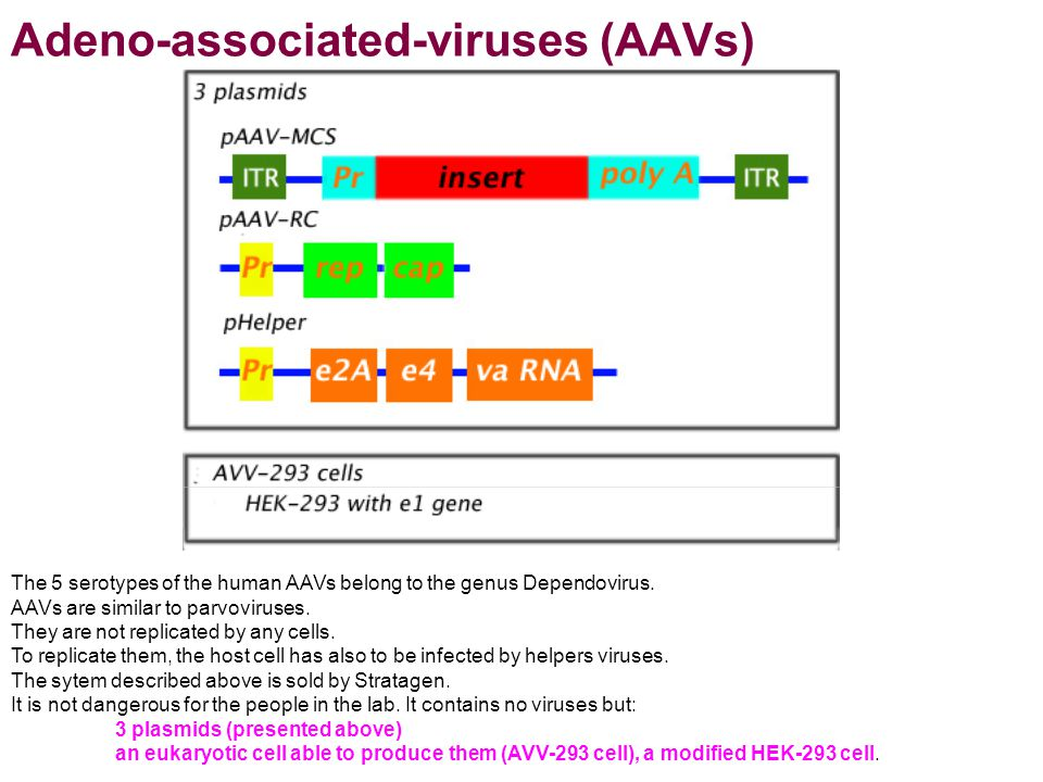 Adeno-associated-viruses (AAVs) The 5 serotypes of the human AAVs belong to the genus Dependovirus. AAVs are similar to parvoviruses. They are not rep