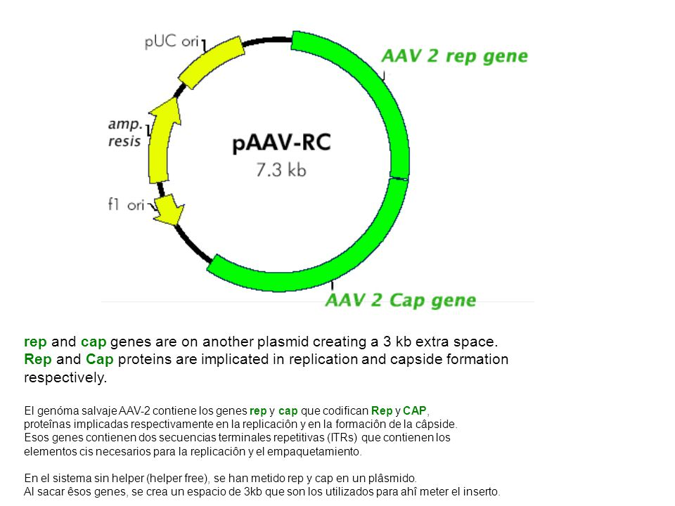 rep and cap genes are on another plasmid creating a 3 kb extra space.