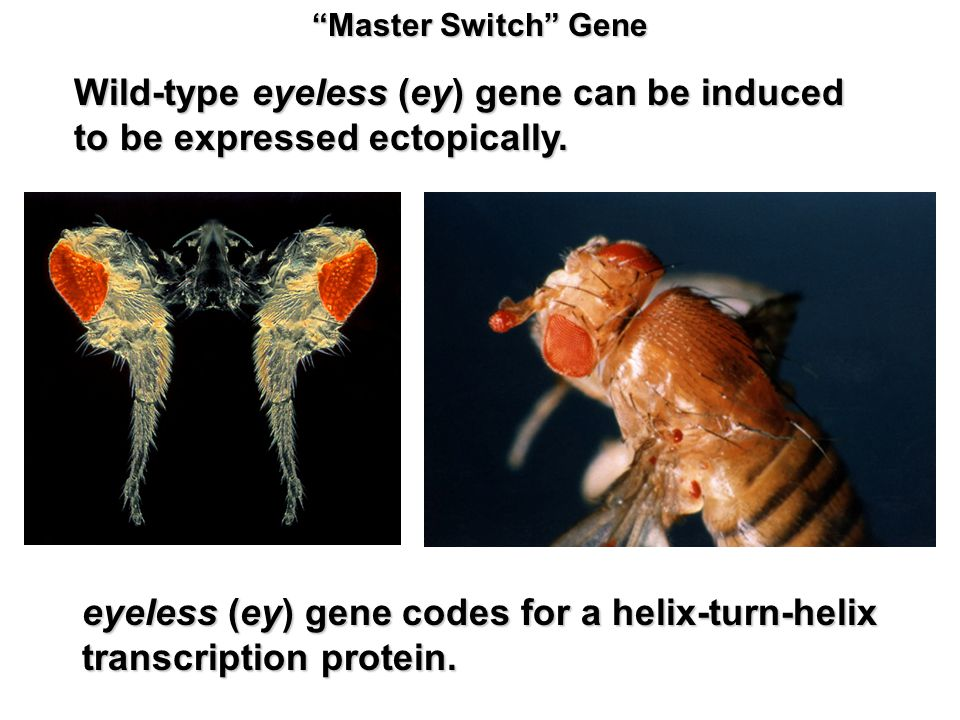 Master Switch Gene Wild-type eyeless (ey) gene can be induced to be expressed ectopically.