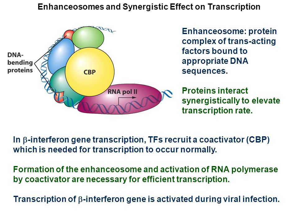 Enhanceosomes and Synergistic Effect on Transcription Enhanceosome: protein complex of trans-acting factors bound to appropriate DNA sequences.