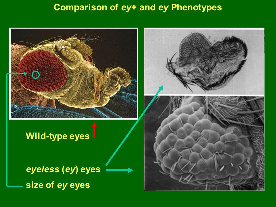 Comparison of ey+ and ey Phenotypes Wild-type eyes eyeless (ey) eyes size of ey eyes