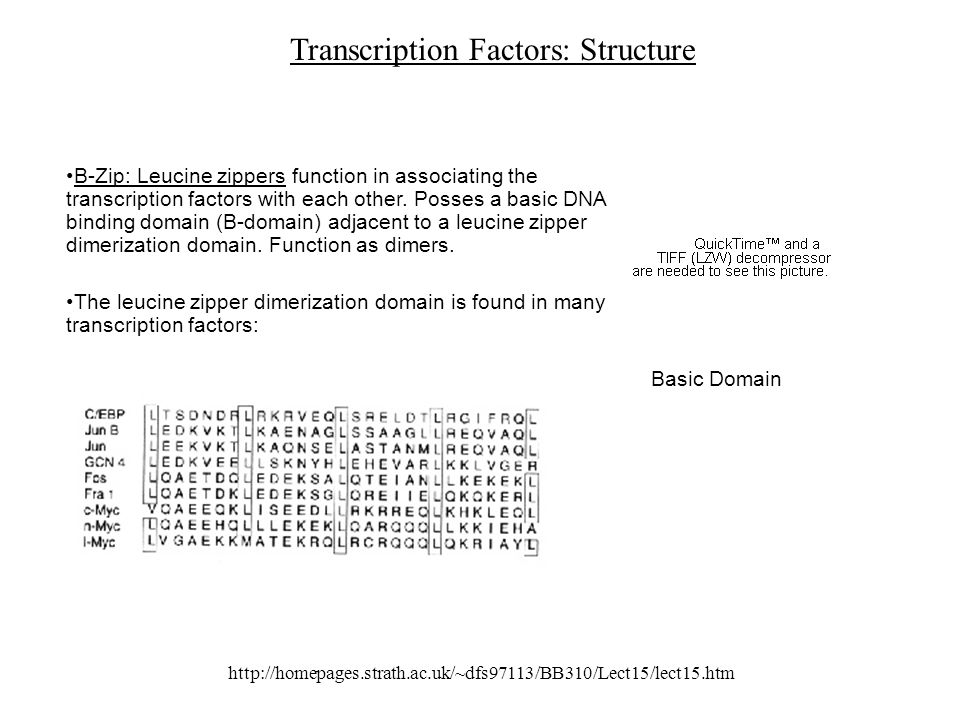 http://homepages.strath.ac.uk/~dfs97113/BB310/Lect15/lect15.htm Transcription Factors: Structure B-Zip: Leucine zippers function in associating the transcription factors with each other.