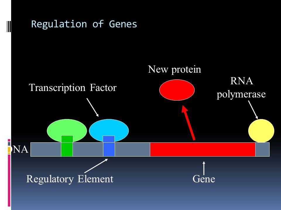 Regulation of Genes Gene RNA polymerase Transcription Factor (Protein) Regulatory Element DNA