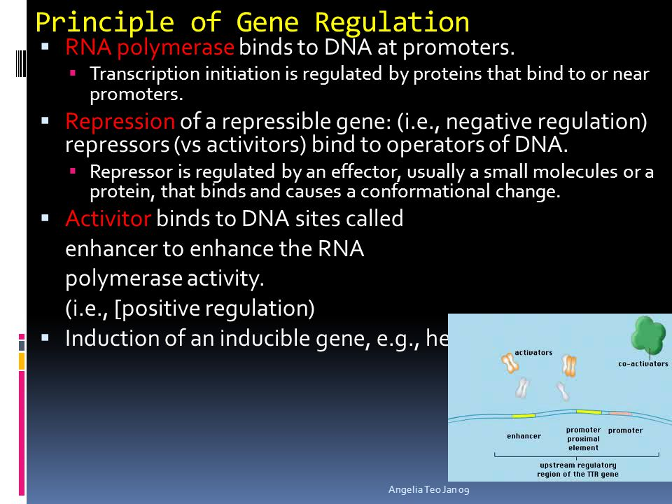 Gene Regulation in Prokaryotes  Prokaryotes organize their genome into operons  Operon = a group of related genes  One promoter sequence at the ver