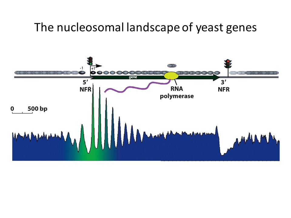 The nucleosomal landscape of yeast genes