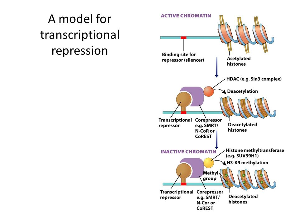 A model for transcriptional repression