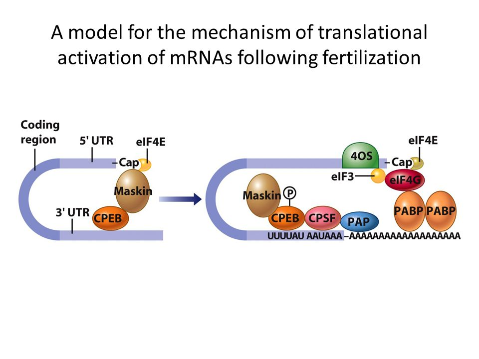 A model for the mechanism of translational activation of mRNAs following fertilization