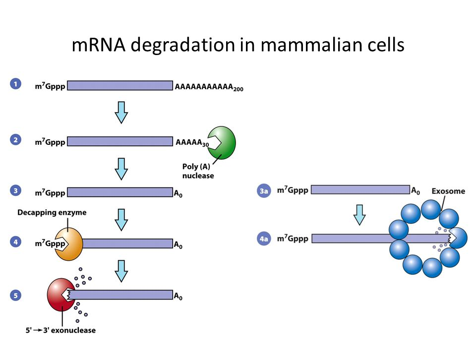 mRNA degradation in mammalian cells
