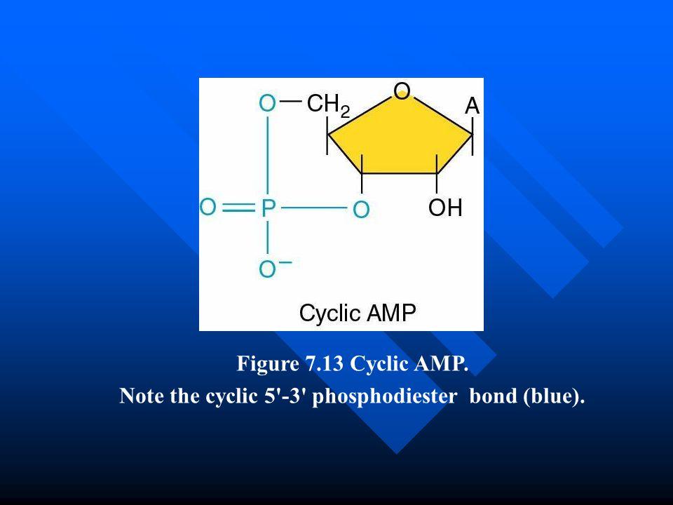 Figure 7.13 Cyclic AMP. Note the cyclic 5'-3' phosphodiester bond (blue).