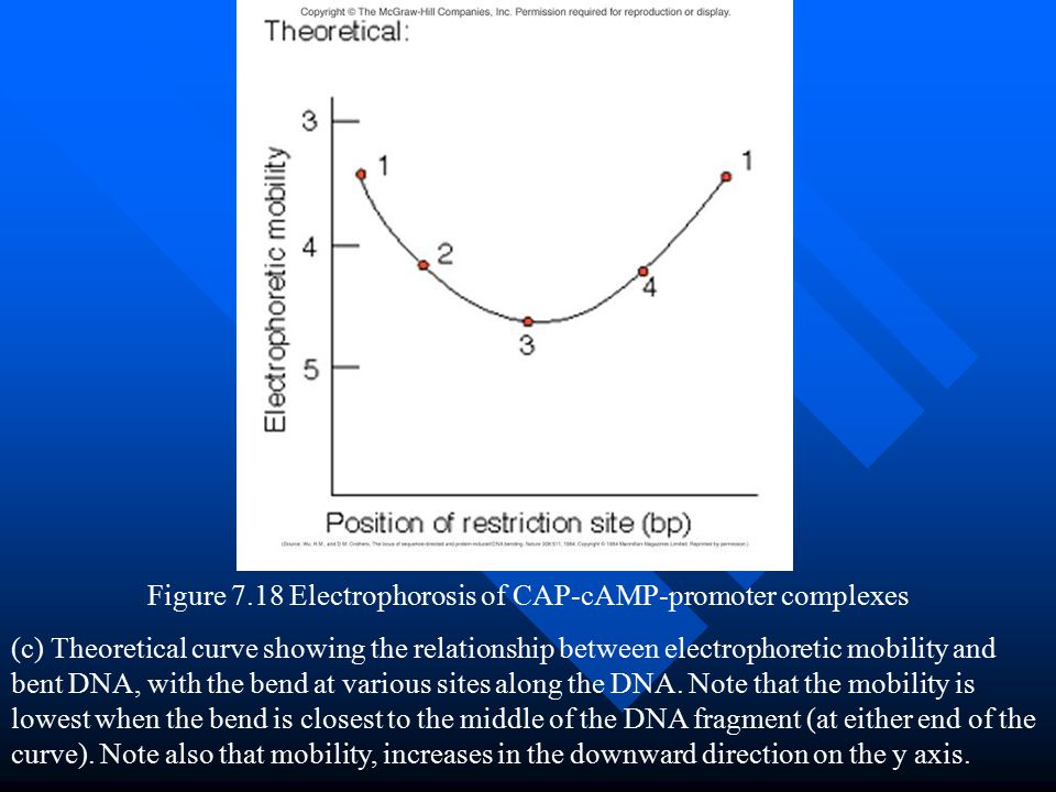 Figure 7.18 Electrophorosis of CAP-cAMP-promoter complexes (c) Theoretical curve showing the relationship between electrophoretic mobility and bent DN