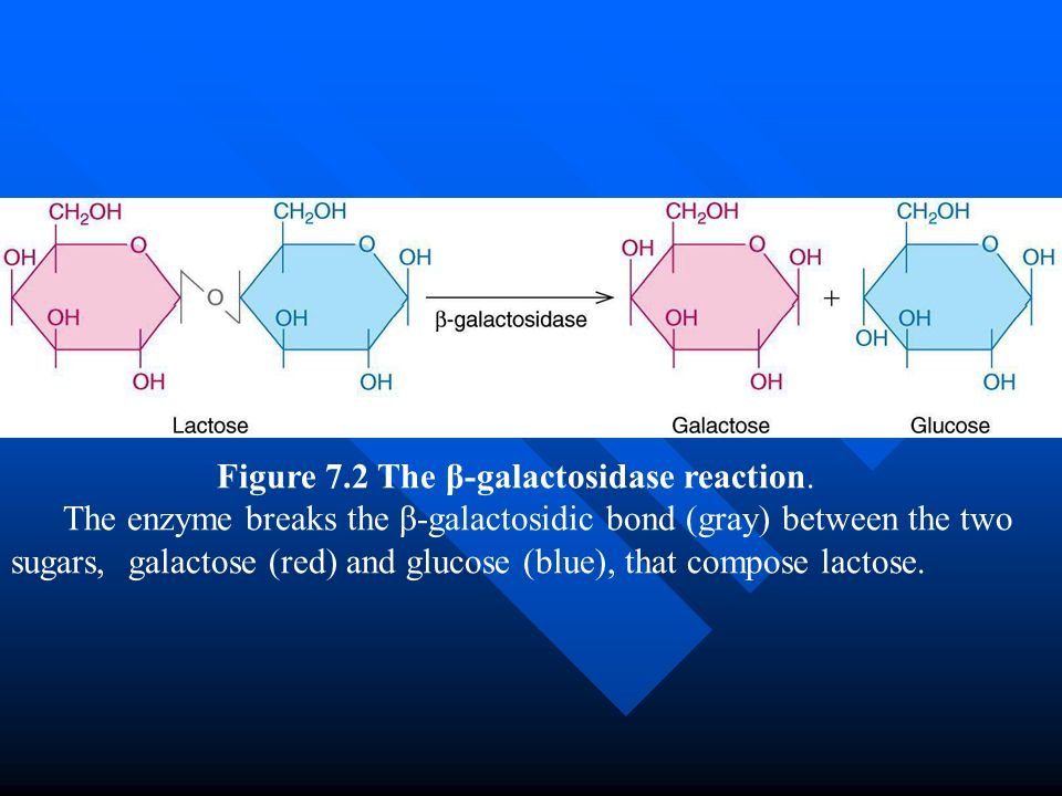 Summary Lactose metabolism in E.coli is carried out by two enzymes, with possible involvement by a third.