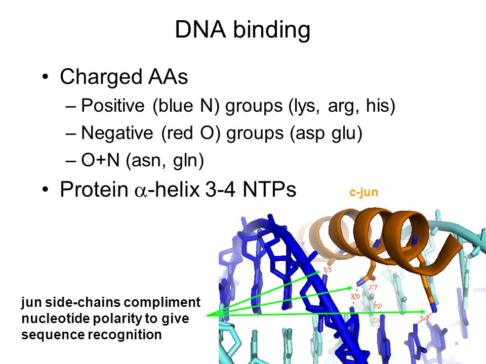 DNA binding Charged AAs –Positive (blue N) groups (lys, arg, his) –Negative (red O) groups (asp glu) –O+N (asn, gln) Protein  -helix 3-4 NTPs c-jun jun side-chains compliment nucleotide polarity to give sequence recognition