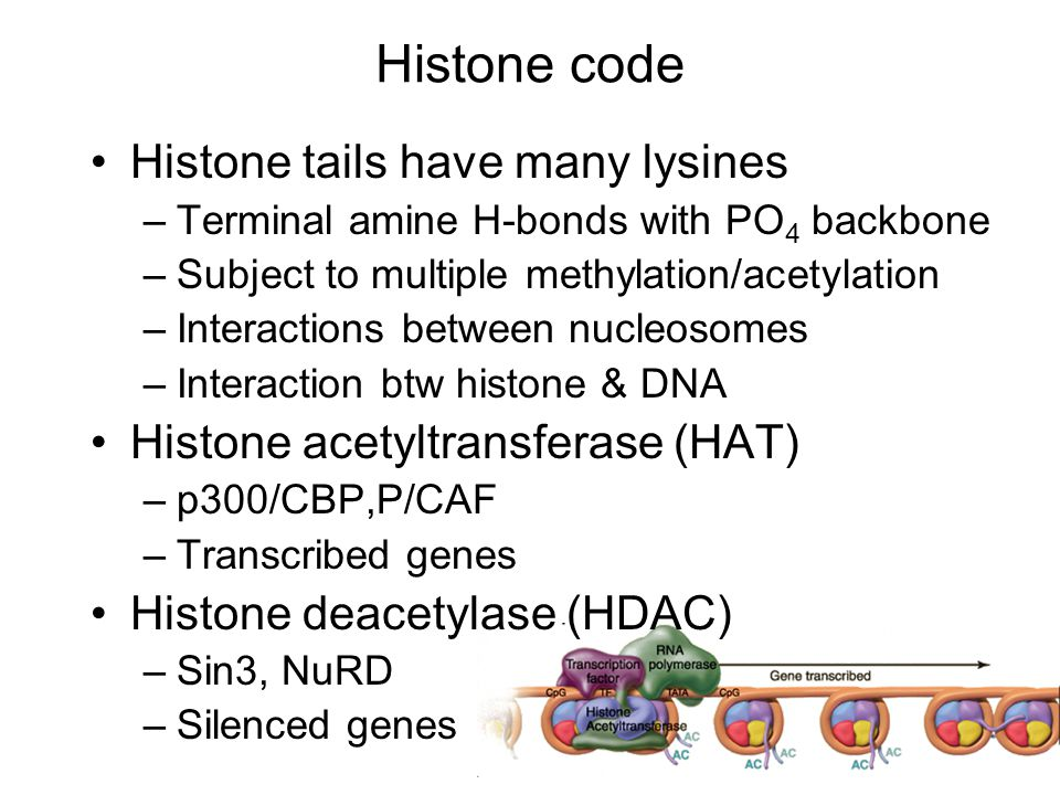 Histone code Histone tails have many lysines –Terminal amine H-bonds with PO 4 backbone –Subject to multiple methylation/acetylation –Interactions between nucleosomes –Interaction btw histone & DNA Histone acetyltransferase (HAT) –p300/CBP,P/CAF –Transcribed genes Histone deacetylase (HDAC) –Sin3, NuRD –Silenced genes