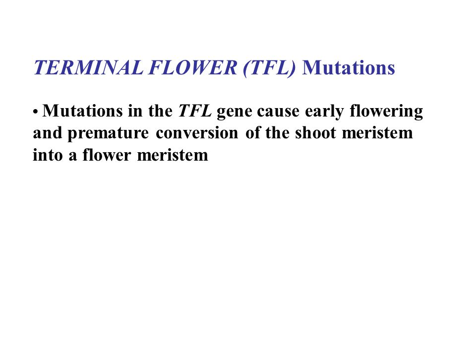 TERMINAL FLOWER (TFL) Mutations Mutations in the TFL gene cause early flowering and premature conversion of the shoot meristem into a flower meristem
