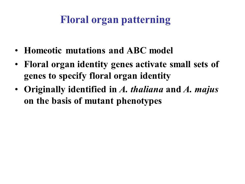 Floral organ patterning Homeotic mutations and ABC model Floral organ identity genes activate small sets of genes to specify floral organ identity Originally identified in A.