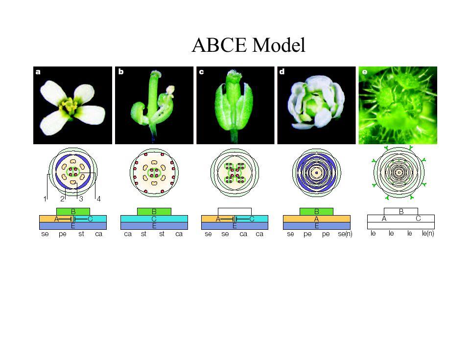 ABCE Model