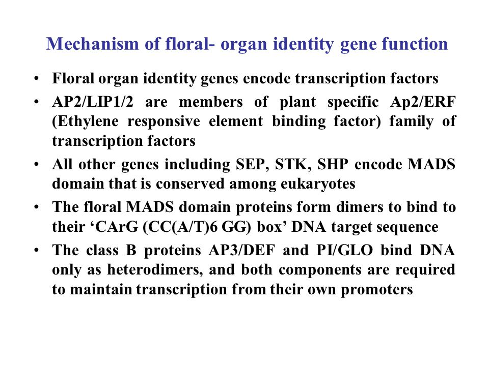 Mechanism of floral- organ identity gene function Floral organ identity genes encode transcription factors AP2/LIP1/2 are members of plant specific Ap2/ERF (Ethylene responsive element binding factor) family of transcription factors All other genes including SEP, STK, SHP encode MADS domain that is conserved among eukaryotes The floral MADS domain proteins form dimers to bind to their 'CArG (CC(A/T)6 GG) box' DNA target sequence The class B proteins AP3/DEF and PI/GLO bind DNA only as heterodimers, and both components are required to maintain transcription from their own promoters
