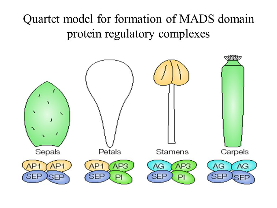 Quartet model for formation of MADS domain protein regulatory complexes