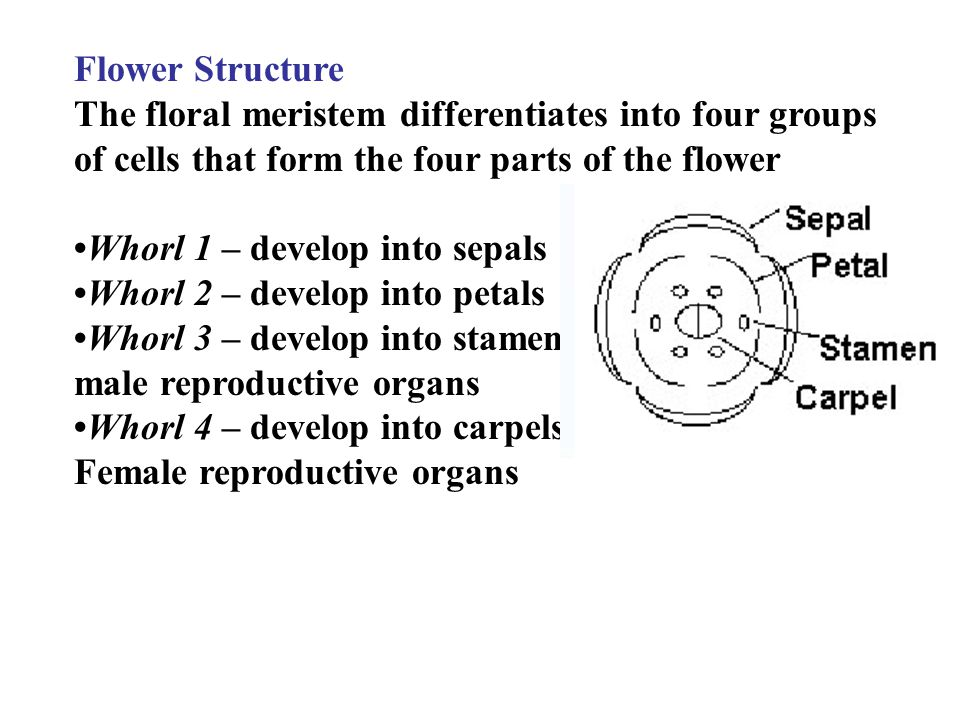 Flower Structure The floral meristem differentiates into four groups of cells that form the four parts of the flower Whorl 1 – develop into sepals Whorl 2 – develop into petals Whorl 3 – develop into stamens; male reproductive organs Whorl 4 – develop into carpels; Female reproductive organs