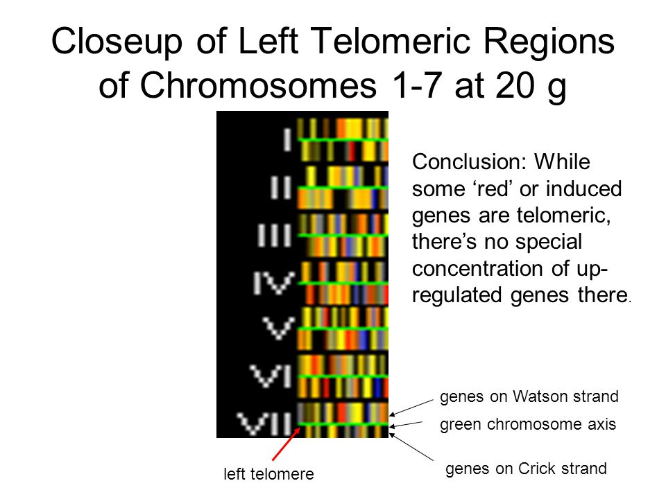 Closeup of Left Telomeric Regions of Chromosomes 1-7 at 20 g Conclusion: While some 'red' or induced genes are telomeric, there's no special concentra