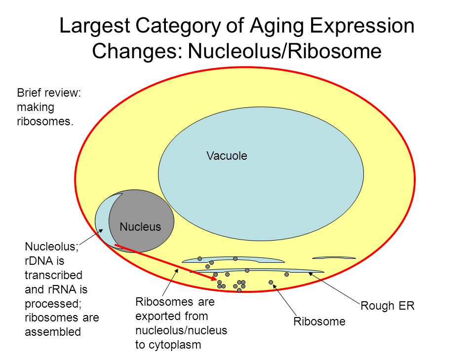 Largest Category of Aging Expression Changes: Nucleolus/Ribosome Vacuole Nucleus Rough ER Ribosome Nucleolus; rDNA is transcribed and rRNA is processe