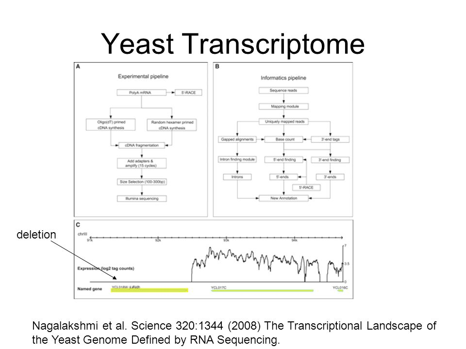 Yeast Transcriptome Nagalakshmi et al. Science 320:1344 (2008) The Transcriptional Landscape of the Yeast Genome Defined by RNA Sequencing. deletion
