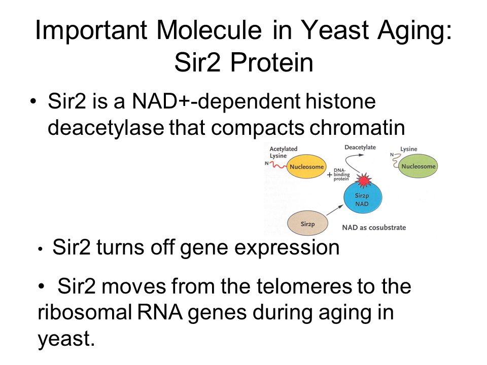 Important Molecule in Yeast Aging: Sir2 Protein Sir2 is a NAD+-dependent histone deacetylase that compacts chromatin Sir2 turns off gene expression Si