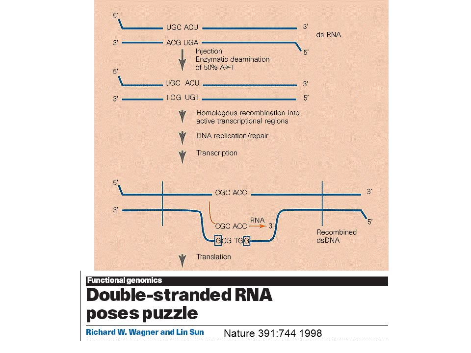 Puzzles of the RNAi Both sense and anti-sense ssRNA effective Catalytic – very few copies of dsRNA could silence abundant mRNA Therefore not conventional antisense Only dsRNA targeting mature mRNA are effective, not to introns or promoters RNAi can cross cellular boundaries