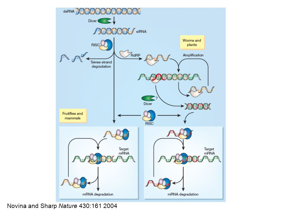 Dicer Dicer generates RNAs with 2 nt 3' overhang and 5' phosphorylated terminus, both required for activity
