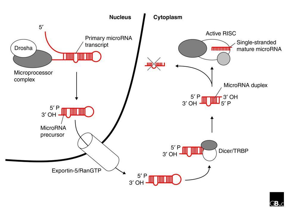 Overview of miRNA biogenesis