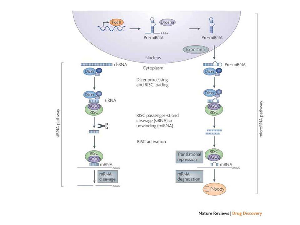 Players in miRNA biogenesis Drosha –Nuclear RNase III enzyme.