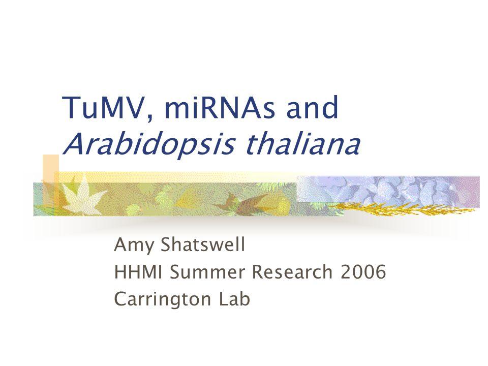 TuMV, miRNAs and Arabidopsis thaliana Amy Shatswell HHMI Summer Research 2006 Carrington Lab
