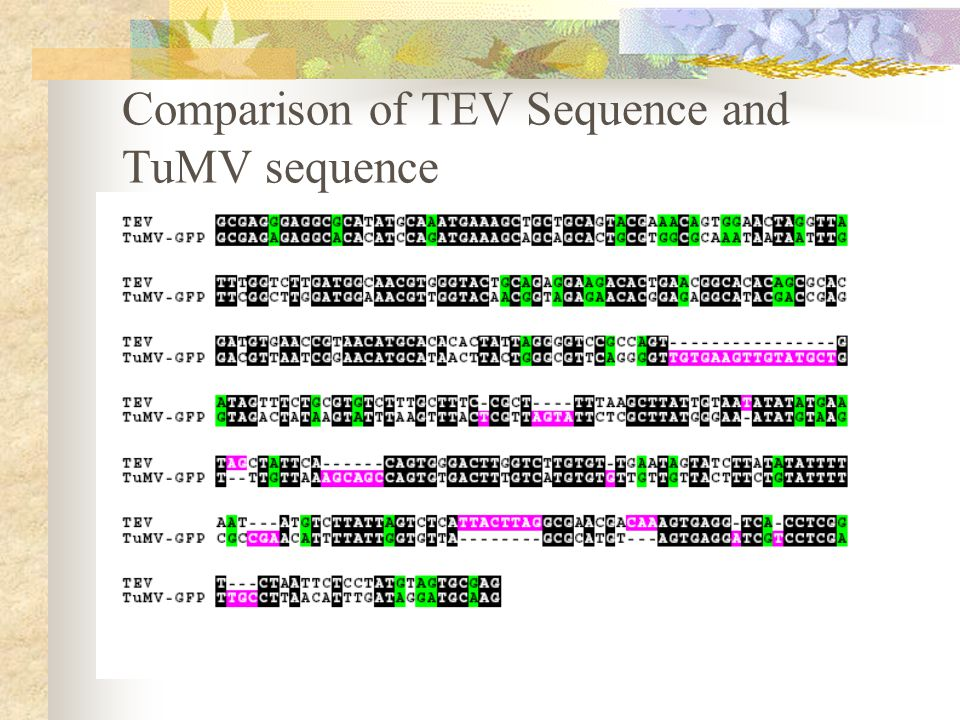 Comparison of TEV Sequence and TuMV sequence