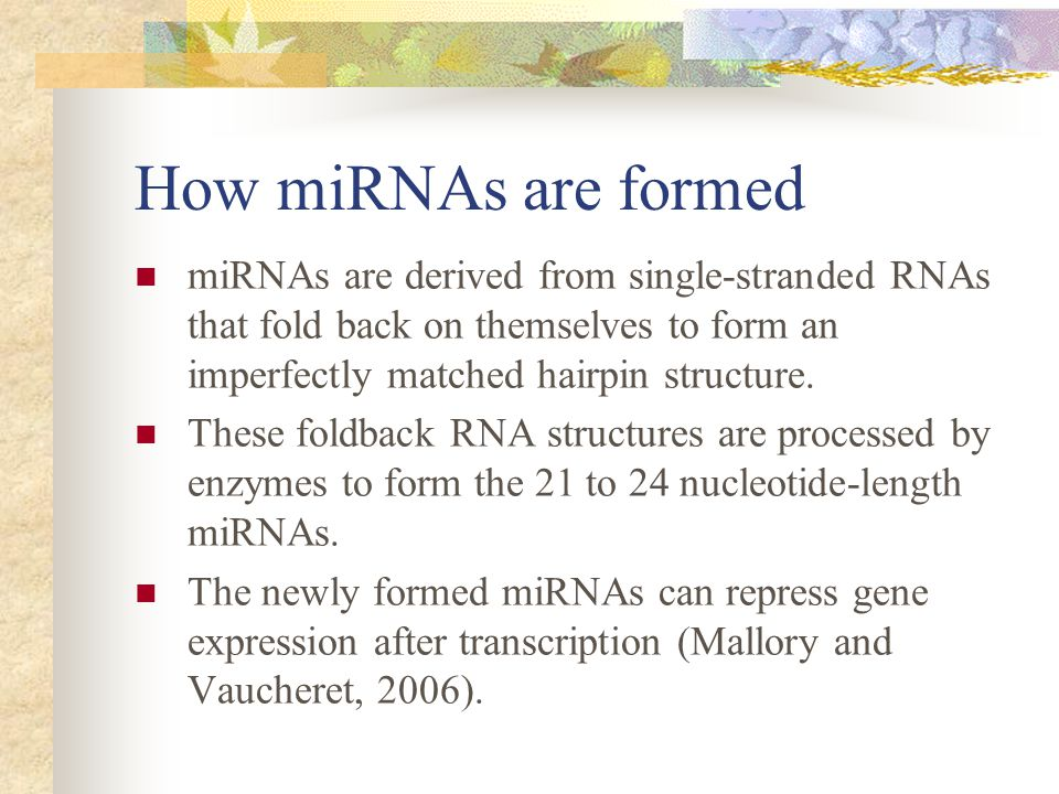 How miRNAs are formed miRNAs are derived from single-stranded RNAs that fold back on themselves to form an imperfectly matched hairpin structure.