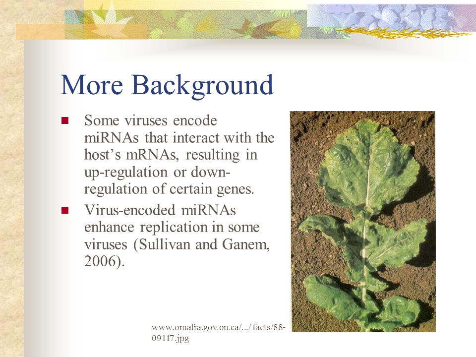 More Background Some viruses encode miRNAs that interact with the host's mRNAs, resulting in up-regulation or down- regulation of certain genes.