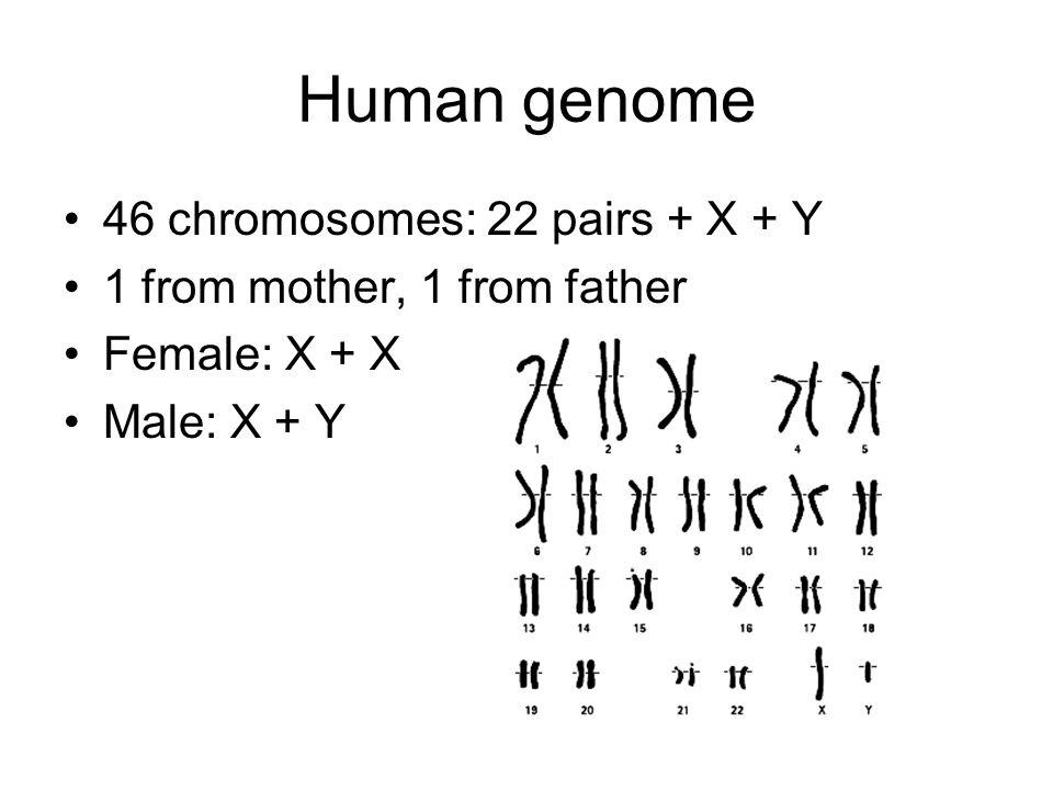 Some statistics ChromosomesBasesGenes Human463 billion20k-25k Dog782.4 billion~20k Corn202.5 billion50-60k Yeast1620 million~7k E.