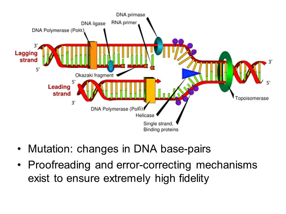 DNA Replication The process of copying a double-stranded DNA molecule –Semi-conservative 5'-ACATGATAA-3' 3'-TGTACTAT-5'  5'-ACATGATAA-3' 3'-TGTACTATT-5'