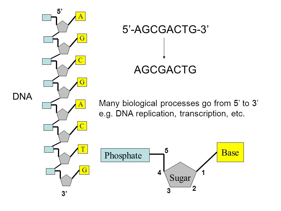 G A G T C A G C 5'-AGCGACTG-3' AGCGACTG Phosphate Sugar Base 1 2 3 4 5 Many biological processes go from 5' to 3' e.g.