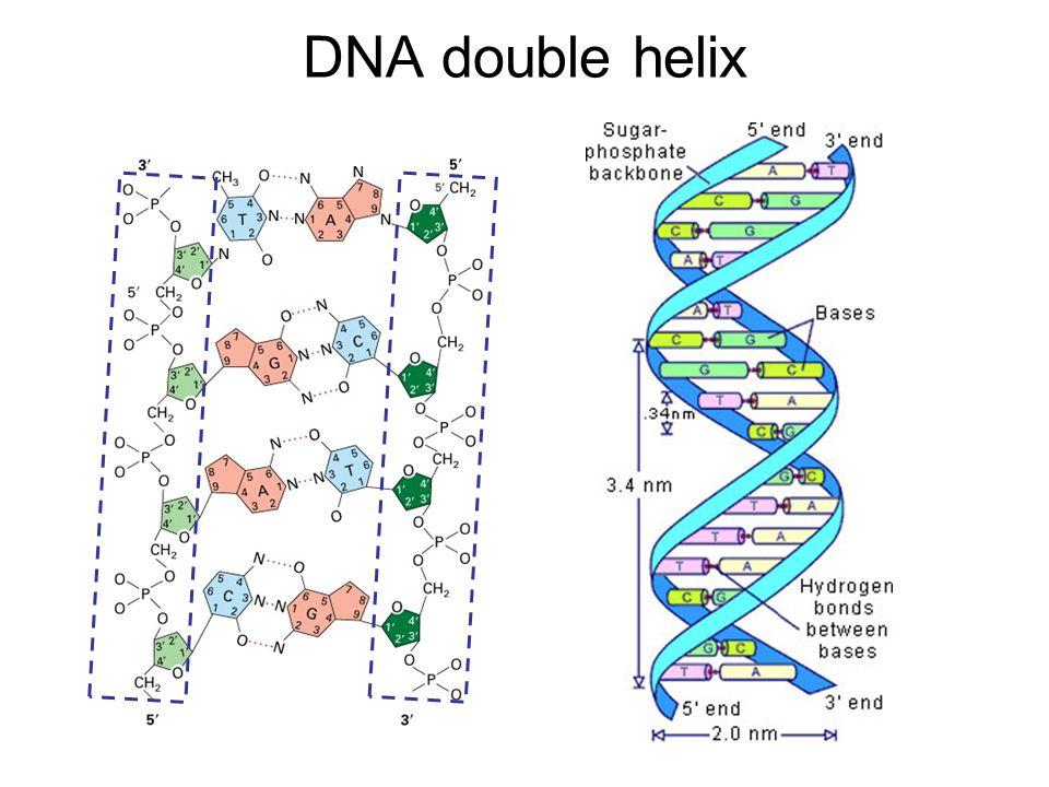 DNA Replication The process of copying a double-stranded DNA molecule –Semi-conservative 5'-ACATGATAA-3' 3'-TGTACTAT-5'  5'-ACATGATAA-3' 3'-TGTACTATT-5'
