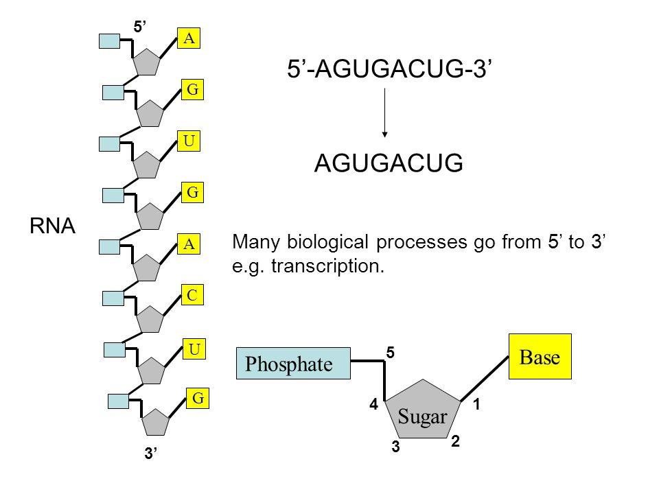 G A G U C A G U 5'-AGUGACUG-3' AGUGACUG Phosphate Sugar Base 1 2 3 4 5 Many biological processes go from 5' to 3' e.g.