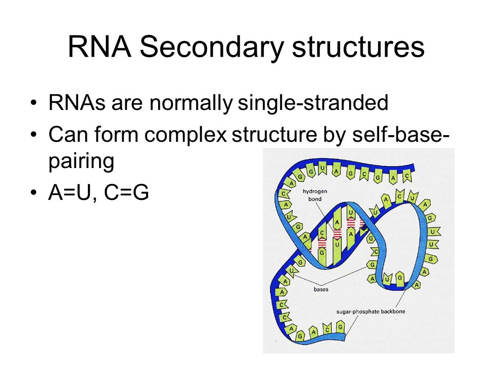 RNA Secondary structures RNAs are normally single-stranded Can form complex structure by self-base- pairing A=U, C=G